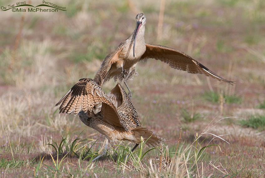 Long-billed Curlews exhibiting territorial aggression