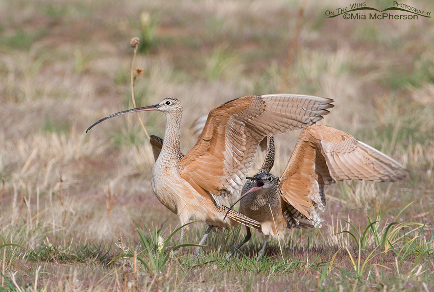 Battling Long-billed Curlews