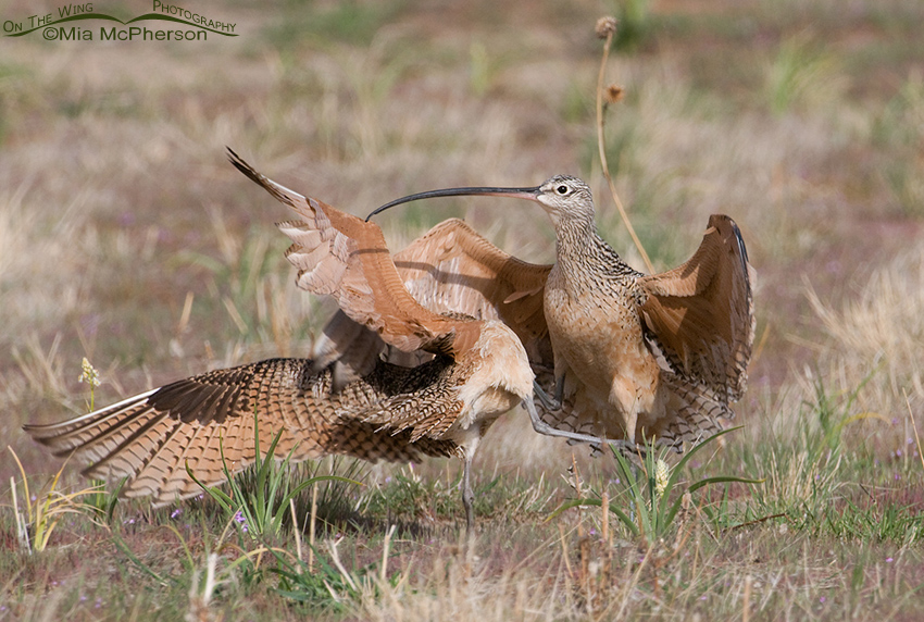 Long-billed Curlew Kick Boxing