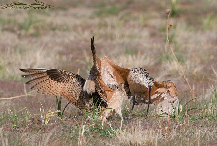 Long-billed Curlews fighting with their bills