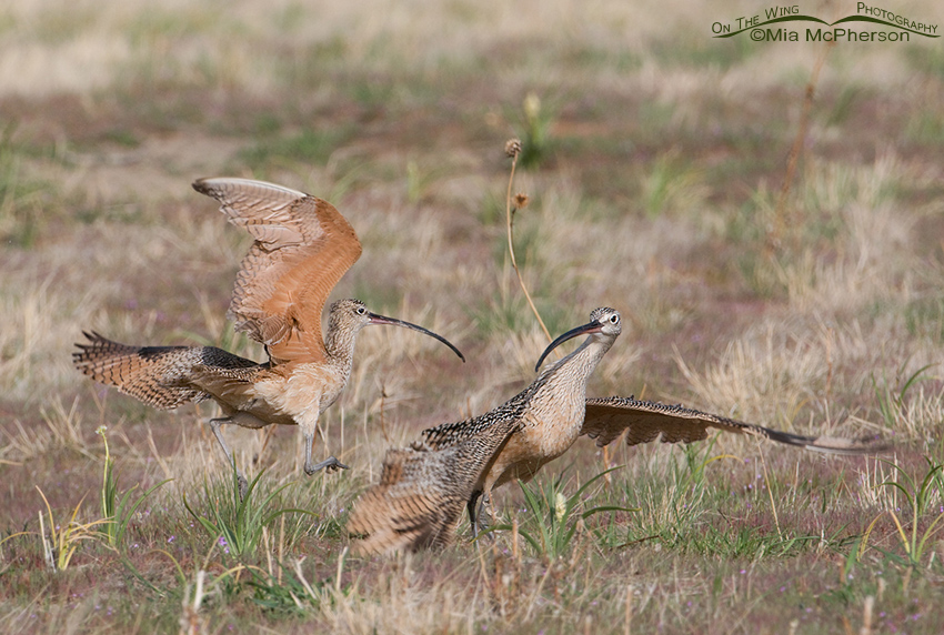 Two male Long-billed Curlews fighting for mating rights