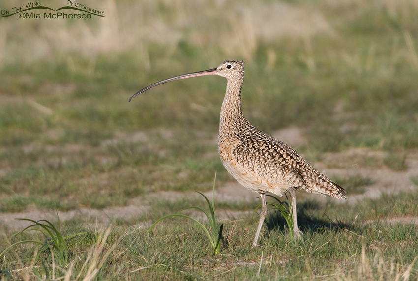 A Long-billed Curlew on breeding grounds