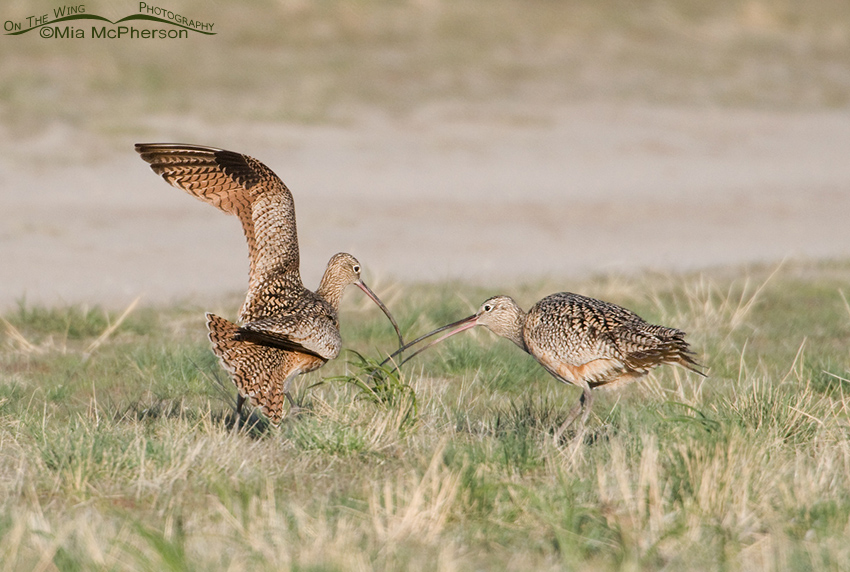 Male and female Long-billed Curlew courting