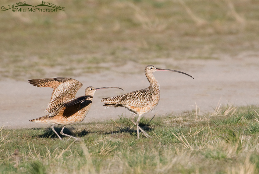 The Curlew courtship continues