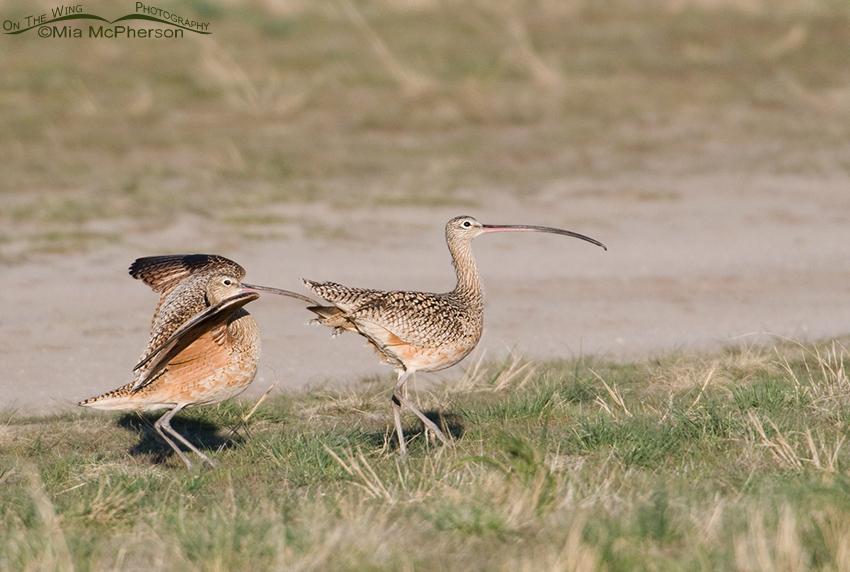 Long-billed Curlew bill shaking behavior