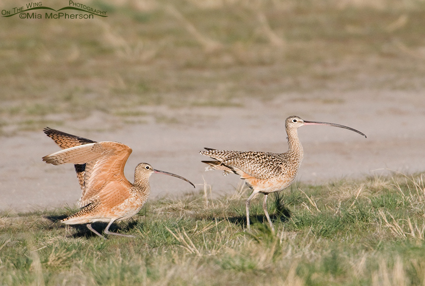 Male Long-billed Curlew following the female