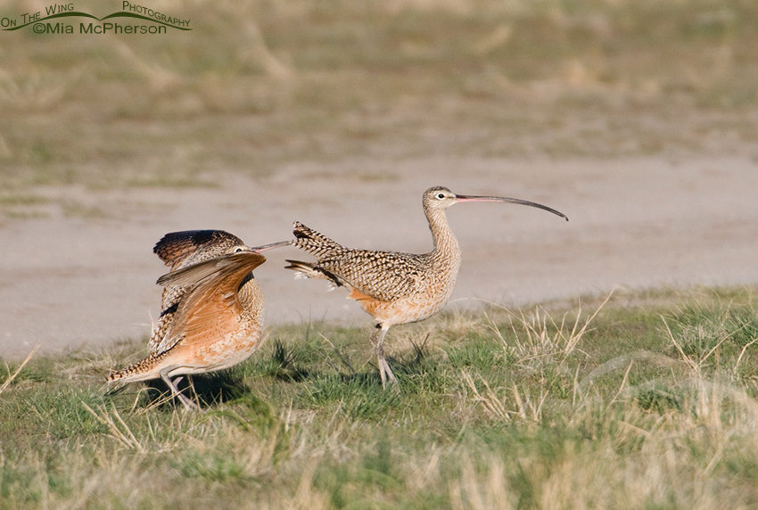 The male Curlew keeps trying to court the female