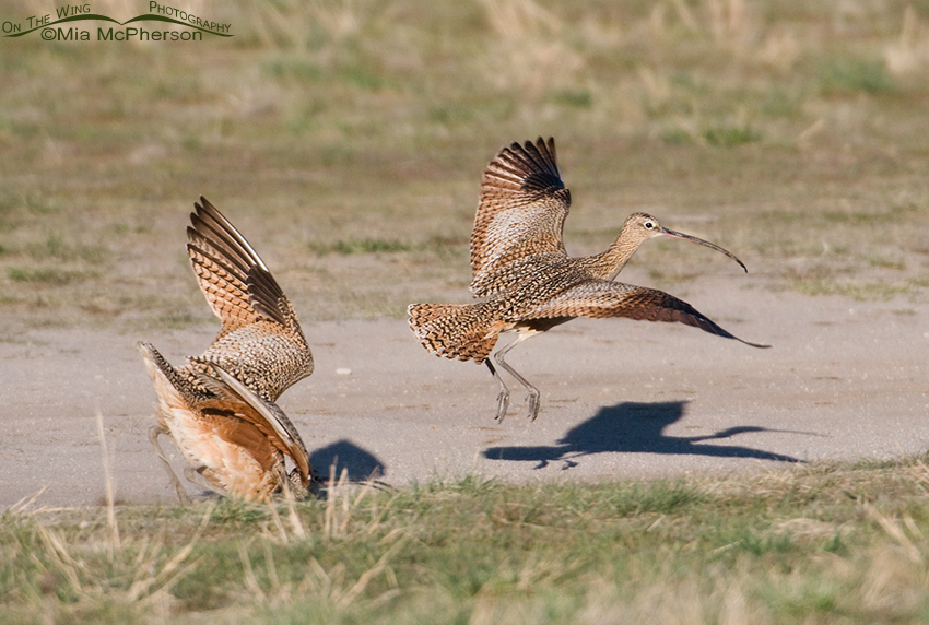 The female Curlew wasn't receptive