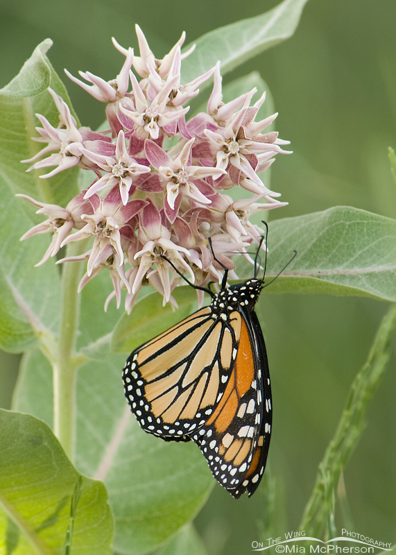 Monarch Butterfly (Danaus plexippus) on a Showy Milkweed (Asclepias speciosa)