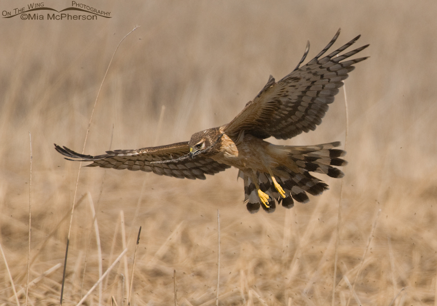 Harrier slowing down above the nest