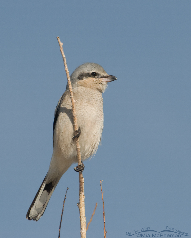Northern Shrike Images