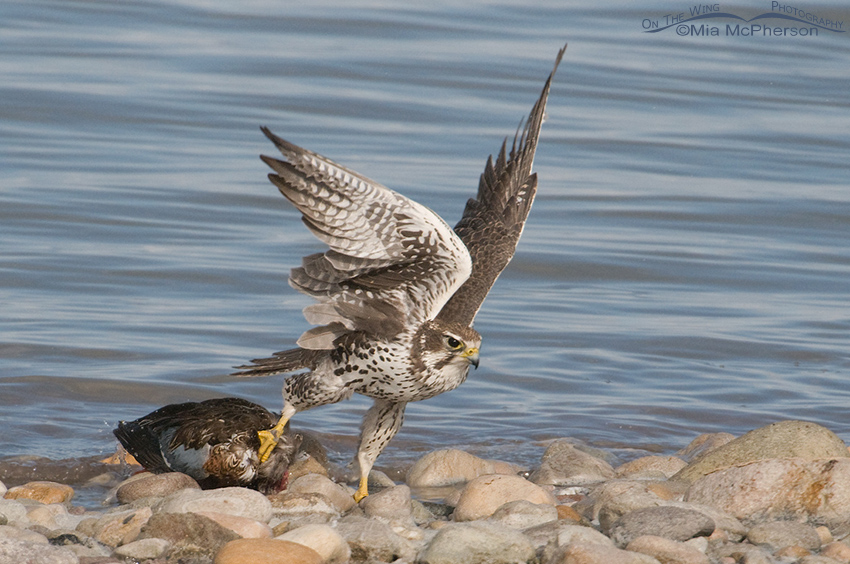 Prairie Falcon with prey on the shoreline of the Great Salt Lake