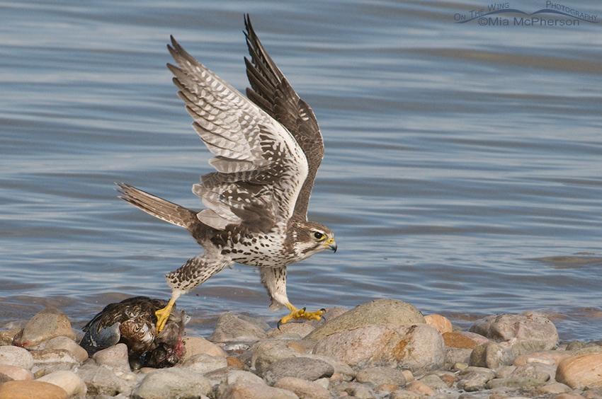 Prairie Falcon struggling to lift prey over rocks on shoreline