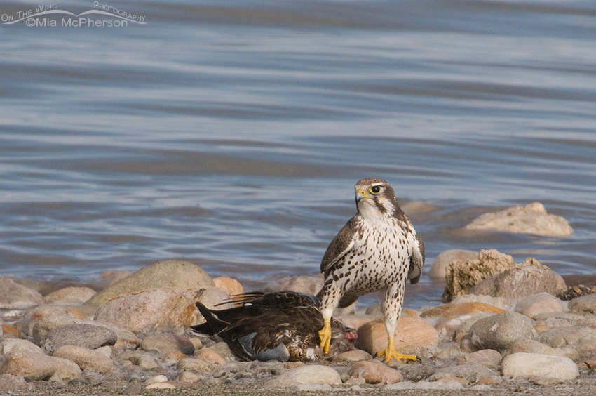 Prairie Falcon with a Northern Shoveler on the shore