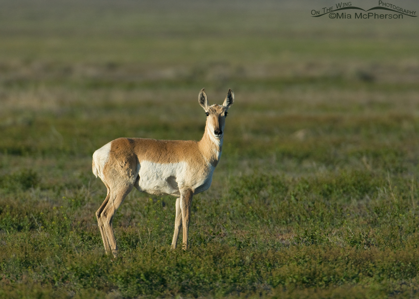 Pronghorn doe in the West Desert