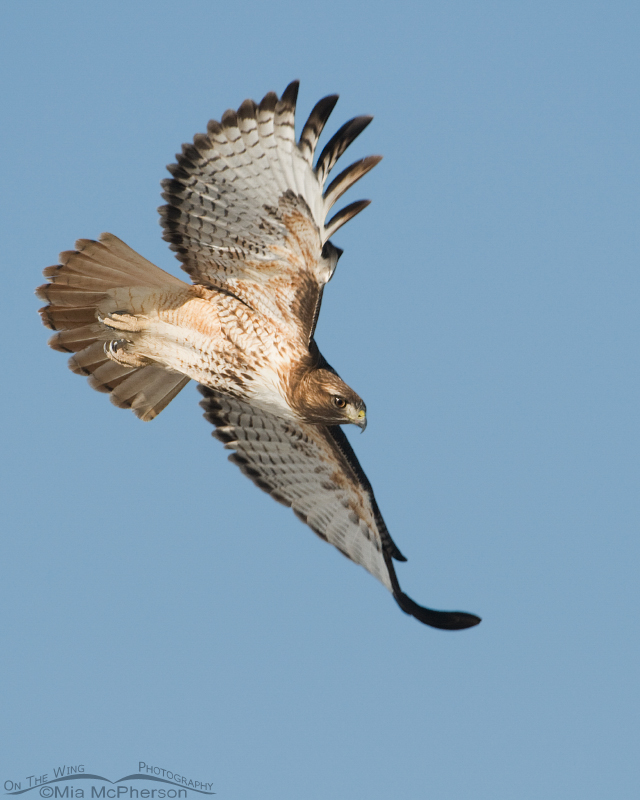 Red-tailed Hawk adult in flight