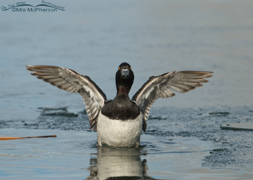 Ring-necked Duck drake flapping its wings