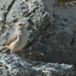 Rock Wren at Simpson Springs