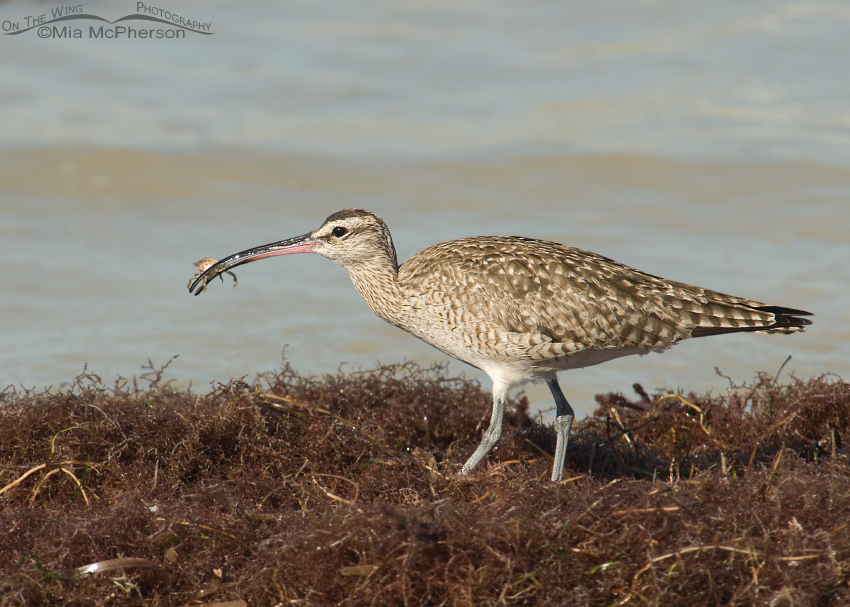 Whimbrel with a tiny crab
