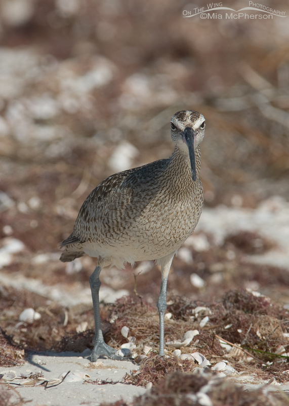 Whimbrel face on