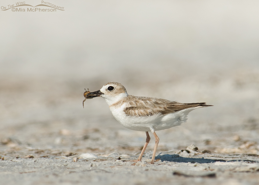 Young Wilson's Plover with a Fiddler Crab