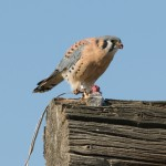 Male American Kestrel, escaped Falconry bird with jesses attached 2009