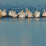 American White Pelicans - Class Picture