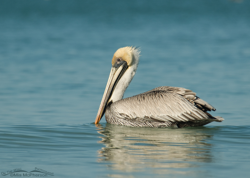 Brown Pelican adult floating on the Gulf of Mexico