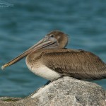 Juvenile Brown Pelican at rest at the Gulf Pier of Fort DeSoto
