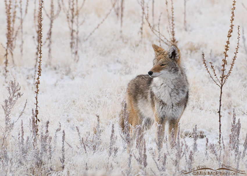 A Coyote on a frosty morning