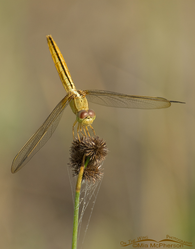 Golden Odonata - Female Scarlet Skimmer