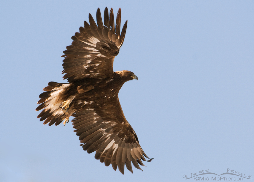 Golden Eagle in flight over Box Elder County