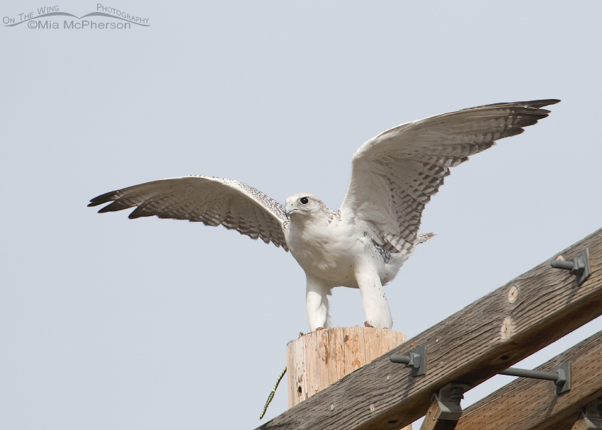 Gyrfalcon getting ready to lift off - Escaped Falconry Bird