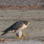 Peregrine Falcon - Escaped Falconry Bird - sighted October 14, 2012