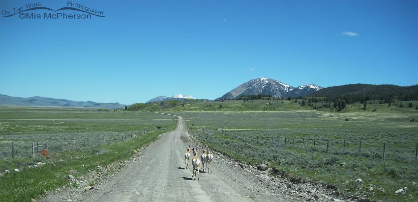 Pronghorns on the road to Red Rock Lakes NWR