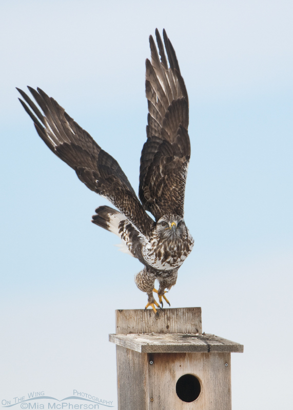 Rough-legged Hawk lifting off