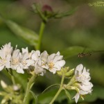 Towering Jacob's Ladder and a Hoverfly in the Wasatch Mountains