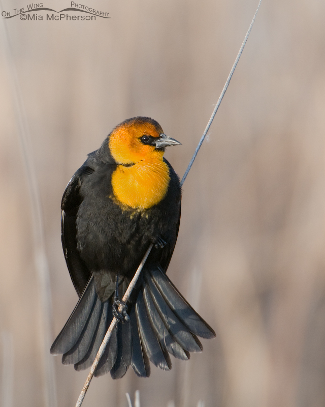 Male Yellow-headed Blackbird displaying on a leaning cattail