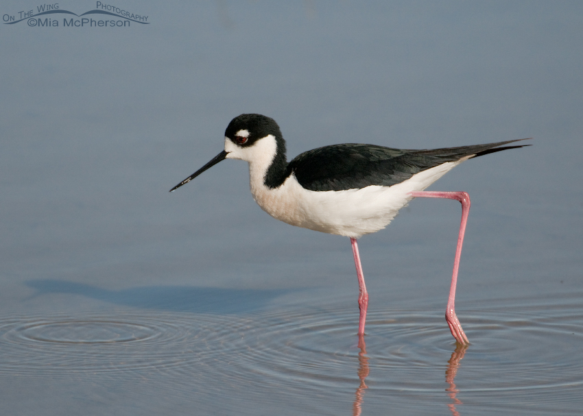 Black-necked Stilt male at Bear River MBR