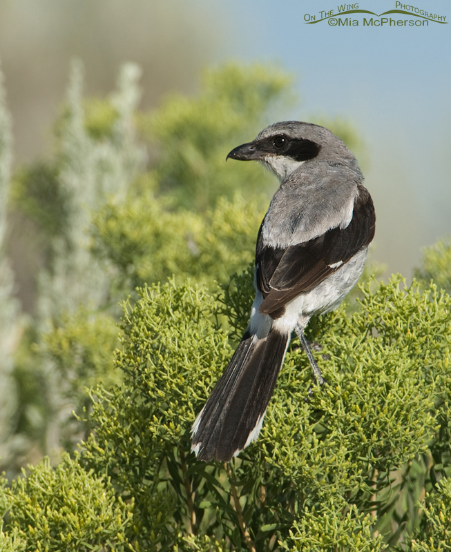 An adult Loggerhead Shrike perched on Rabbitbrush
