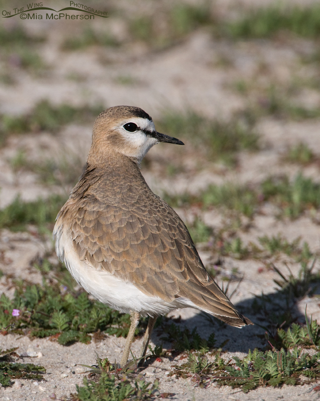 Female Mountain Plover in the spring