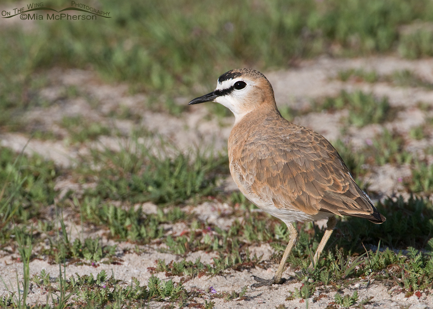 Male Mountain Plover in breeding plumage
