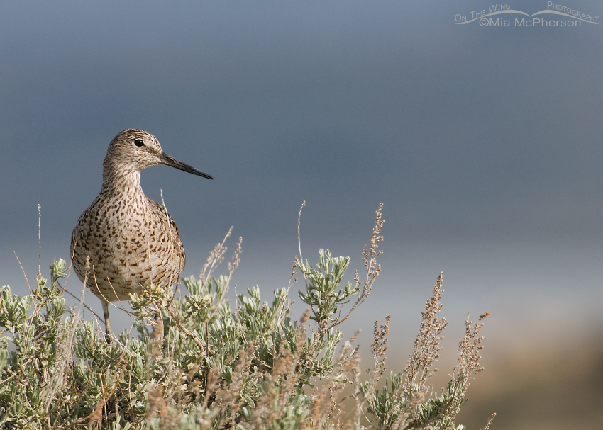 Willet on a Sagebrush