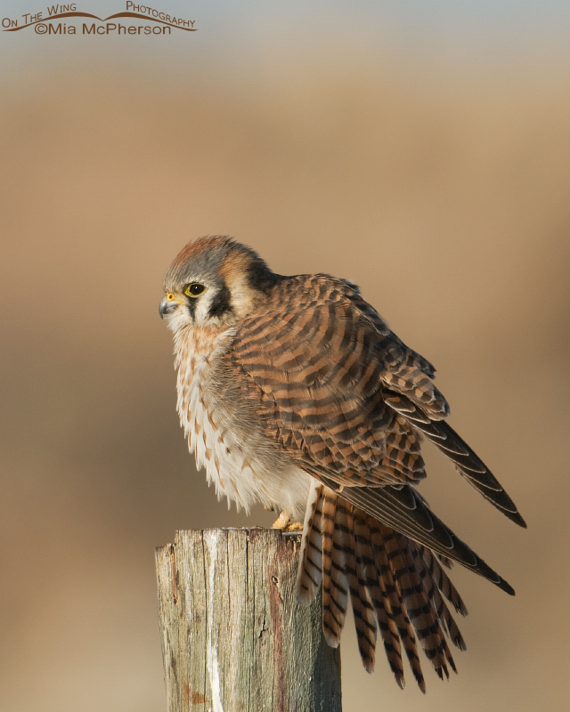 Female American Kestrel stretching