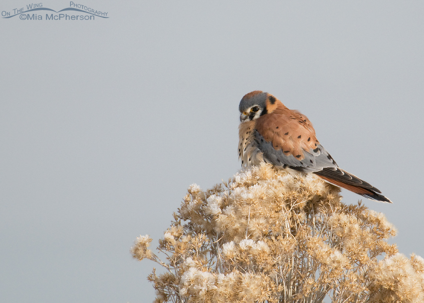 A frosty Rabbitbrush and a male American Kestrel