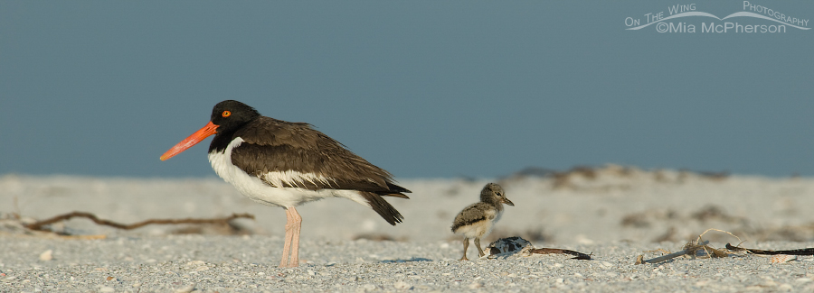 American Oystercatcher chick and adult
