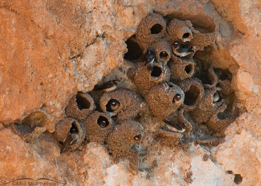 Cliff Swallows nesting – Nikon D300, f6.3, 1/200, ISO 500, Nikkor ...