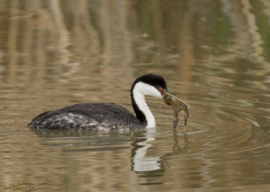 Western Grebe eating a crayfish