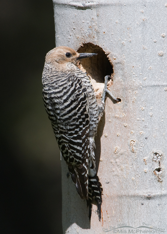 Female Williamson's Sapsucker checking out the nesting cavity