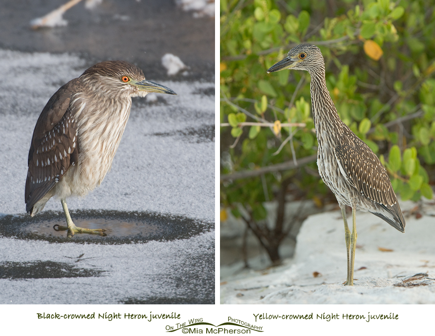 Comparing Black-crowned and Yellow-crowned Night Heron juveniles